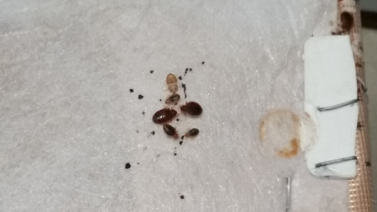 Montana Helena Bozeman Missoula Bed Bug Bed Bug Extermination Bed Bug Exterminator Bed Bug Removal Bed Bug Solutions Bed Bug Treatment Bed Bugs